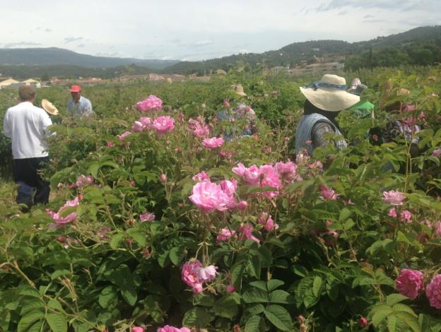 Le pays de grasse terre de fleurs et de parfums le francofil 39 - Fleurs des iles grasse ...