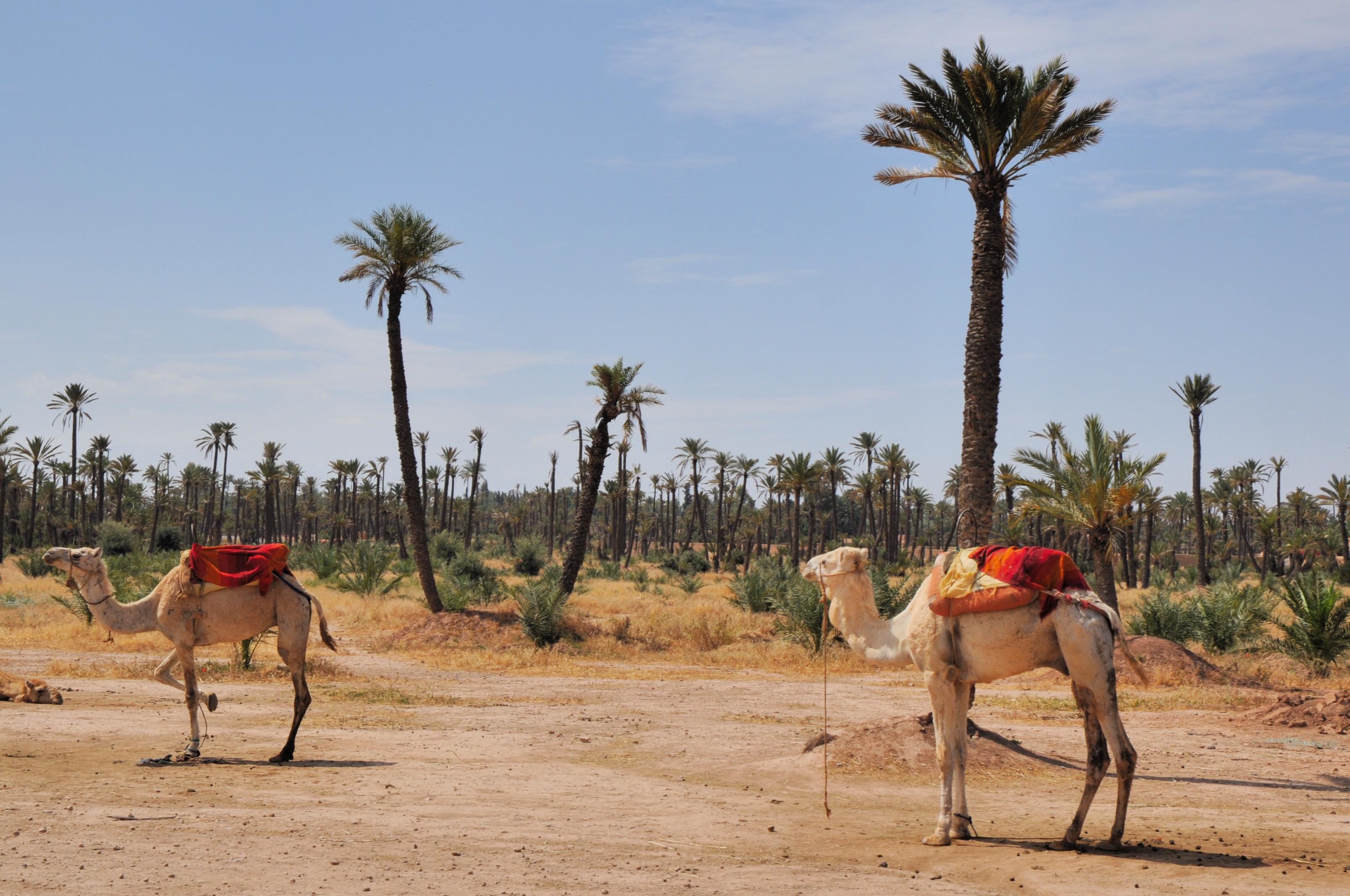maroc_marrakech_palmeraie