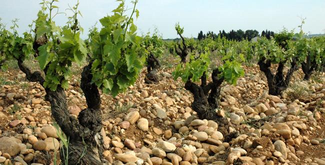 chateauneuf-du-pape-vignoble